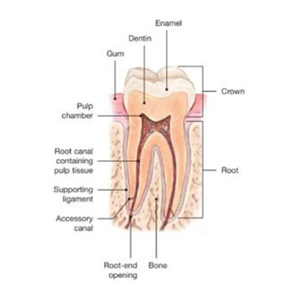 Graphic of the anatomy of a Root Canal